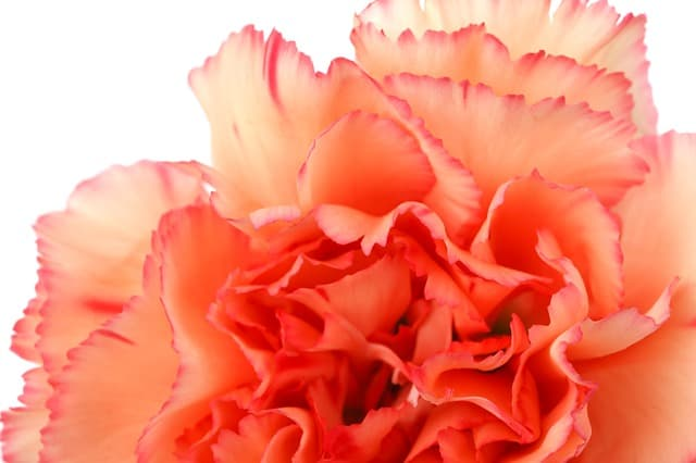 Pink carnation birth flower for January