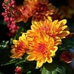 November birth flower chrysanthemums
