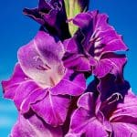 gladiolus birth flower for August