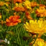 October birth flower marigolds