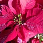 Poinsetta December birth flower